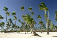 Punta Cana. Palmtrees on beach of Punta Cana, Dominican Republic,West Indies Royalty Free Stock Image