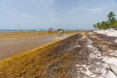 Punta Cana, Dominican Republic - June 24, 2018: sargassum seaweeds on the beaytiful ocean beach in Bavaro, Punta Cana Royalty Free Stock Photos