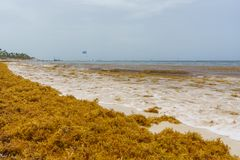 Punta Cana, Dominican Republic - June 24, 2018: sargassum seaweeds on the beaytiful ocean beach in Bavaro, Punta Cana Stock Photo