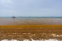 Punta Cana, Dominican Republic - June 24, 2018: sargassum seaweeds on the beaytiful ocean beach in Bavaro, Punta Cana Stock Photography