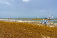 Punta Cana, Dominican Republic - June 24, 2018: sargassum seaweeds on the beaytiful ocean beach in Bavaro, Punta Cana Stock Image