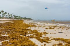 Punta Cana, Dominican Republic - June 24, 2018: sargassum seaweeds on the beaytiful ocean beach in Bavaro, Punta Cana Royalty Free Stock Photography