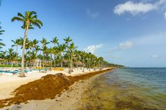 Punta Cana, Dominican Republic - June 25, 2018: sargassum seaweeds on the beaytiful ocean beach in Bavaro, Punta Cana Royalty Free Stock Photography