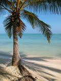 Punta Cana Palm Tree. Palm Tree at Punta Cana, Dominican Republic Stock Photos