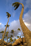 Punta Cana Palm Trees Stock Photo