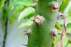 Punta del cactus verde Fotografia Stock