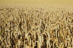 Punta del giacimento di grano Fotografia Stock Libera da Diritti