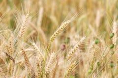 Punta del grano nel campo Fotografie Stock