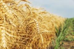 Punta del grano nel campo Immagine Stock