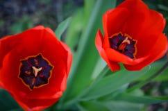 Punta del pie a través de los tulipanes 2 Imágenes de archivo libres de regalías