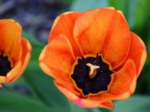 Punta del pie a través de los tulipanes 3 Fotografía de archivo