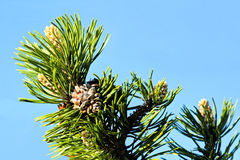 Punta del pino con gli aghi ed il cono Fotografie Stock Libere da Diritti