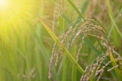 Punta del riso nel giacimento del riso Fotografie Stock