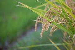 Punta del riso nel giacimento del riso Immagini Stock Libere da Diritti
