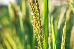 Punta del riso nel giacimento del riso Fotografia Stock