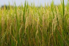Punta dell'oro del giacimento del riso Immagine Stock
