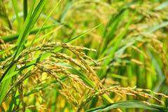 Punta dell'oro del giacimento del riso Fotografie Stock Libere da Diritti