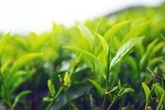 Punta della foglia di tè verde Immagine Stock Libera da Diritti