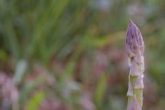 Punta di asparago porpora che cresce nel giardino Fotografie Stock