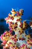 Punta di corallo molle Fotografie Stock