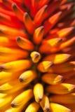 Punta di fioritura dell'aloe arancio e giallo Fotografia Stock Libera da Diritti