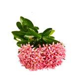 Punta rosa del fiore su bianco Fotografia Stock Libera da Diritti