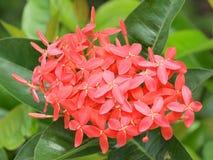 Punta rossa del fiore Fotografia Stock