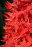 Punta rossa del fiore Fotografia Stock Libera da Diritti