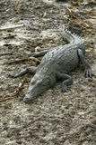 Punta Sur Crocodile Basking in Sun. Photo of female crocodile on shore of lagoon at Punta Sur ecological park in Cozumel, Mexico stock photos