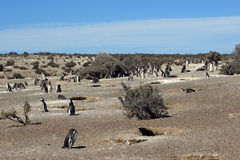 Punta Tombo, Argentina. Colony of Magellanic Penguins, Punta Tombo, Argentina, South America Royalty Free Stock Photo
