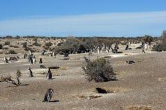 Punta Tombo, Argentinië royalty-vrije stock foto