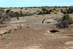 Punta Tombo, Patagonia, Argentina. Magellanic penguin. Punta Tombo is a peninsula into the Atlantic Ocean 68 mi south of Trelew, in Chubut Province, Argentina Stock Photo