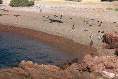 Punta Tombo, Patagonia, Argentina. Magellanic penguin Royalty Free Stock Image