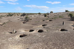 Punta Tombo, Patagonia, Argentinien Magellanic Pinguin Stockfotos