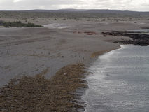 Punta Tombo, Patagonia. Magellanic penguin Habitat (Spheniscus magellanicus) as seen in the wild in Patagonian Argentina at Punta Tombo Stock Photos