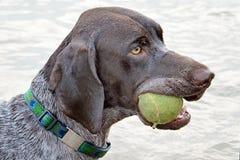 Puntatore dai capelli corti tedesco con la sua palla favorita fotografia stock