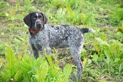 Puntatore del tedesco della razza del cane Fotografie Stock Libere da Diritti