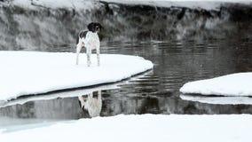 Puntatore di inglese del cane Fotografia Stock Libera da Diritti