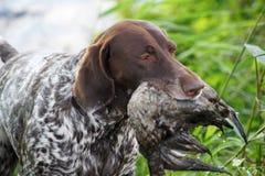 Puntatore tedesco sulla caccia Fotografia Stock Libera da Diritti