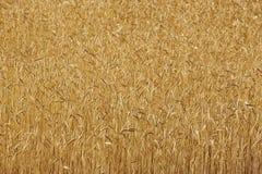 Punte del grano nella campagna Landscap del fondo di agricoltura Immagine Stock
