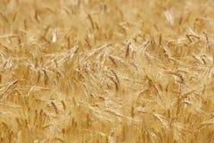 Punte del grano nella campagna Landscap del fondo di agricoltura Immagini Stock Libere da Diritti
