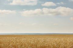 Punte del grano nella campagna Landscap del fondo di agricoltura Fotografia Stock Libera da Diritti