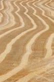 Punte del grano nella campagna Landscap del fondo di agricoltura Fotografia Stock