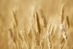 Punte del grano nella campagna Landscap del fondo di agricoltura Immagine Stock Libera da Diritti