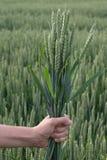 Punte del grano in sua mano Immagine Stock