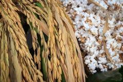 Punte del riso con riso schioccato Immagine Stock Libera da Diritti