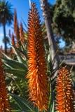 Punte di fioritura dell'aloe Fotografie Stock
