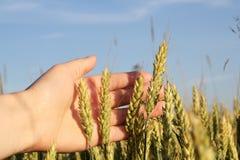 Punte di grano a disposizione contro il cielo blu Fotografia Stock Libera da Diritti