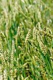Punte di grano non maturo Fotografia Stock Libera da Diritti
