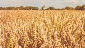 Punte dorate asciutte del grano il giorno soleggiato pronto per il raccolto Fotografia Stock Libera da Diritti